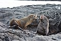20180808-Galápagos fur seal-10 at Santiago (9794).jpg