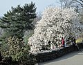 2018 Fort Tryon Park - dogwood tree in early spring.jpg