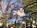 2020-02-09 15 33 33 Autumn Cherry blossoms along Lees Corner Road in the Franklin Farm section of Oak Hill, Fairfax County, Virginia.jpg