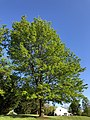 2020-05-10 18 25 15 Pin Oak leafing out in spring along Kinross Circle in the Chantilly Highlands section of Oak Hill, Fairfax County, Virginia.jpg