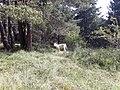 2020-07-12 Vedella al Parc Natural de Penyagolosa a prop de la Font de la Cambreta.jpg
