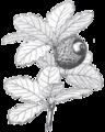 279 - Խոզակաղնի (նոյնը վերնագրում).png