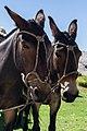 2 mules in Córdoba Province Argentina (249741089).jpg