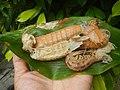 4087Ants Common houseflies foods delicacies of Bulacan 12.jpg