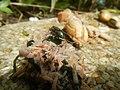 4217Foods Common houseflies Ants of the Philippines 16.jpg