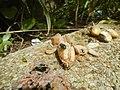 4217Foods Common houseflies Ants of the Philippines 36.jpg