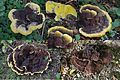 4 development-stadia by this 4 Phaeolus schweinitzii or Omnia tomentosa (GB= Velvet-top fungus, Dyer's polypore, D= Kiefern-Braunporling or Gelber Braunporling, F= Polypore éponge , NL= Dennenvoetzwam) on our biking t - panoramio.jpg