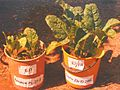 5. Effect of Fossa alterna compost on plant growth (spinach) (5621512829).jpg