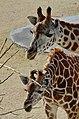 50 Jahre Knie's Kinderzoo Rapperswil - Giraffa camelopardalis 2012-10-03 14-26-53.JPG
