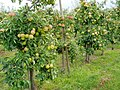 90915-Apfelanbau im Alten Land.JPG