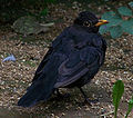 A Blackbird male.jpg