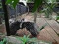 A Ema (Rhea americana) é a maior ave das Américas. Um macho adulto pode atingir 1,70 m de comprimento e pesar até 36 kg. A envergadura pode atingir 1,50 m de comprimento. Esta espécie é onívora, o - panoramio.jpg