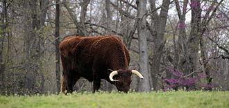 American Milking Devon - An American Milking Devon bull at pasture