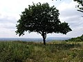 A Tree at the edge of the downs - geograph.org.uk - 28515.jpg