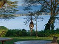 A Visitor at Breakfast, Elsamere Lodge, Naivasha (46980568444).jpg
