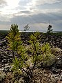 A baby tree at the top of the Walking on Ancient Mountains Trail in Nopiming Provincial Park in Manitoba, Canada. (42628915280).jpg