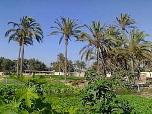 Awjila - A farm in Awjilah