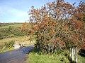 A fruiting Rowan - geograph.org.uk - 1529844.jpg