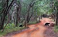 A mother and cub sloth bear crossing the road in Wilpattu National Park.jpg