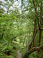 A steep woody walk - geograph.org.uk - 452223.jpg