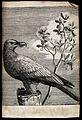 A vulture. Engraving. Wellcome V0022236.jpg