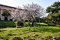 A white flowering almond tree and in the background the Temple of Hephaestus.jpg