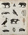 Above, two hogs, an insect, a sea horse, a tanager bird, and Wellcome V0020676ER.jpg