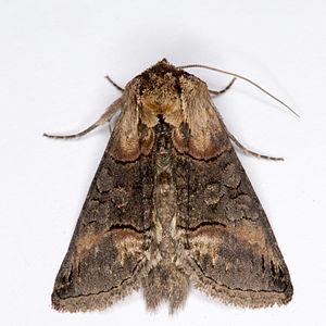 Abrostola triplasia, Lodz(Poland)02(js).jpg