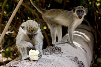 Abuko Nature Reserve - A monkey eating an orange in the park