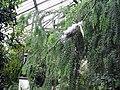 Acacia vestita, Air layering, Kew Gardens, June 18, 2008.jpg