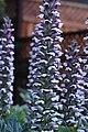 Acanthus mollis IMG 0102.jpg