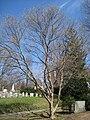 Acer buergerianum, Mount Auburn Cemetery.JPG