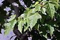 Acer ginnala 15zz.jpg