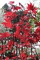Acer palmatum 'Oshio beni' - JPG2.jpg