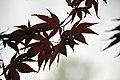 Acer palmatum (Japanese maple tree) 2 (49044029443).jpg