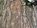 Acer rubrum 13zz.jpg