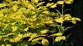Acer shirasawanum 'Aureum' J2.JPG