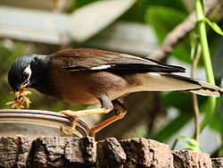 Acridotheres tristis (Wroclaw zoo)-1.JPG