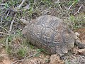 Addo National Park - Turttle.JPG