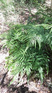 <i>Adiantum formosum</i> species of plant