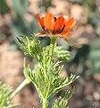 Adonis aestivalis inflorescence (19).jpg