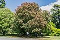 Aesculus × carnea in Christchurch Botanic Gardens 04.jpg