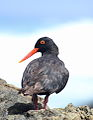 African Oystercatcher or African Black Oystercatcher, Haematopus moquini (13171497594).jpg