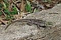Agama lizard (female), Ghana.jpg