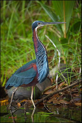 Agami heron - Adult in Costa Rica