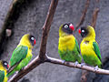 Agapornis personatus -Kansas City Zoo, Missouri, USA-8a.jpg