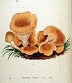 Agaricus laschii — Flora Batava — Volume v20.jpg