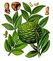 Agathis dammara - Köhler–s Medizinal-Pflanzen-155.jpg