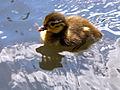 Aix galericulata -Richmond Park, London, England -duckling-8.jpg