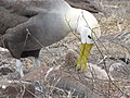 Albatross birds - Espanola - Hood - Galapagos Islands - Ecuador (4871721966).jpg